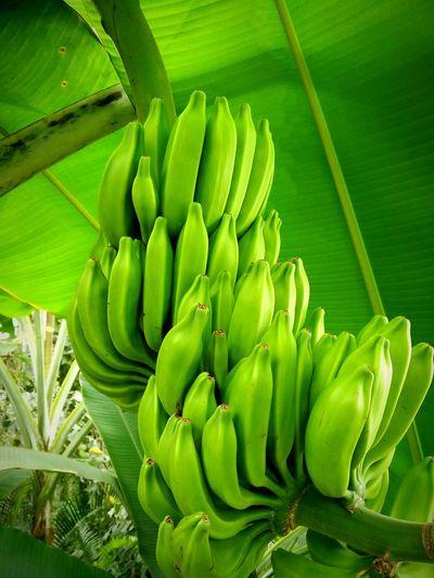 Bananas Fruit Green Nature