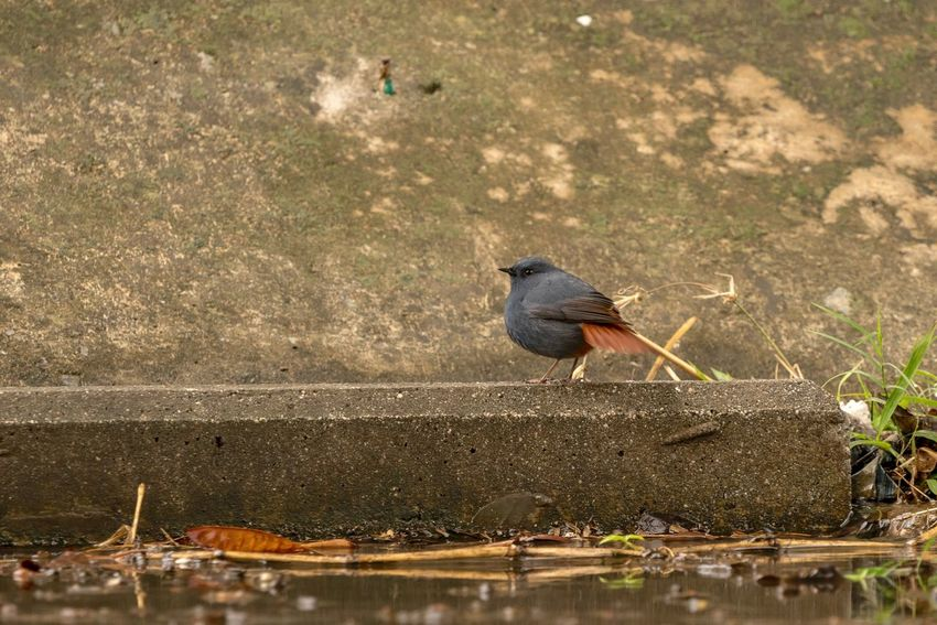 Sigma 150-600c Sony A7RII Hong Kong Plumbeous Water Redstart Bird One Animal Animals In The Wild Animal Themes Animal Wildlife Perching No People Full Length Water Outdoors Nature Day