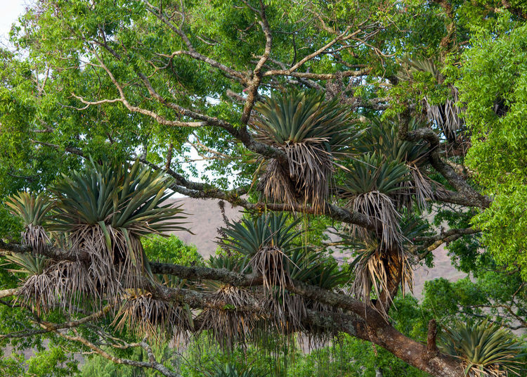 Bromeliads growing on a tree in the Atlantic Forest, Brazil Leaf Land Outdoors Forest Branch Foliage Lush Foliage Day No People Tranquility Beauty In Nature Nature Green Color Tropical Climate Growth Plant Tree Tropical Tree Bromeliads Bromeliad Epiphyte