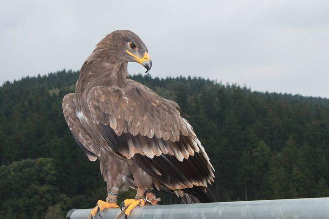 Teutoburger Wald Teutoburg Forest Steinadler Golden Eagle Eagle