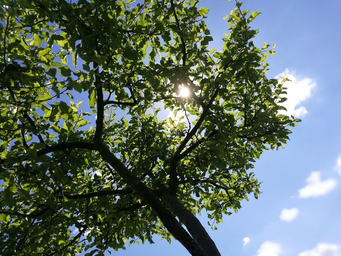 Tree Branch Sky Green Color Directly Below Treetop Skylight Single Tree Long Shadow - Shadow Leaves Apple Tree Fruit Tree