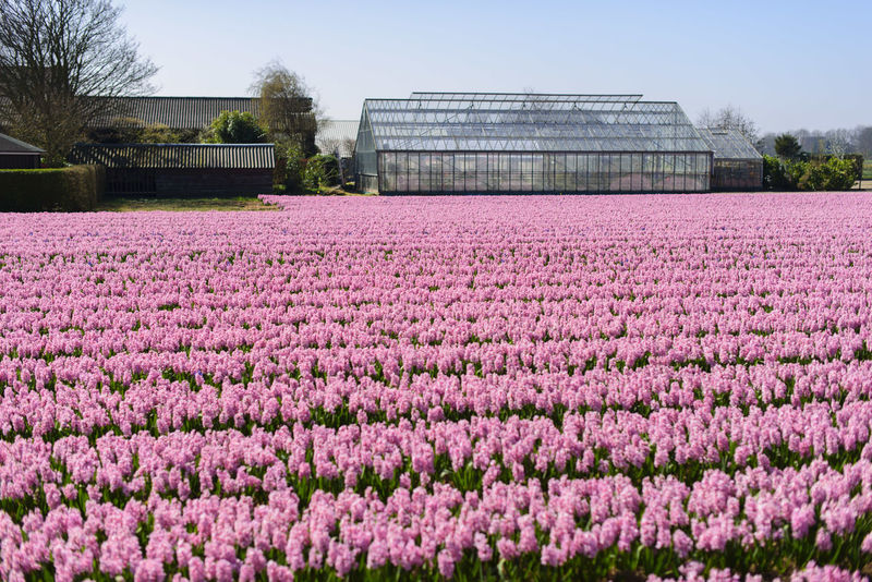 Agriculture Amazing Architecture Beauty In Nature Built Structure Colors Day Field Flower Fragility Freshness Garden Greenhouse Growth Holland Keukenhof Keukenhof Garden Nature No People Outdoors Pink Color Purple Rural Scene Sky Tulips🌷