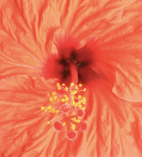 Beauty In Nature Flower Flower Head Fragility Hibiscus Nature Petal Pollen Red Color