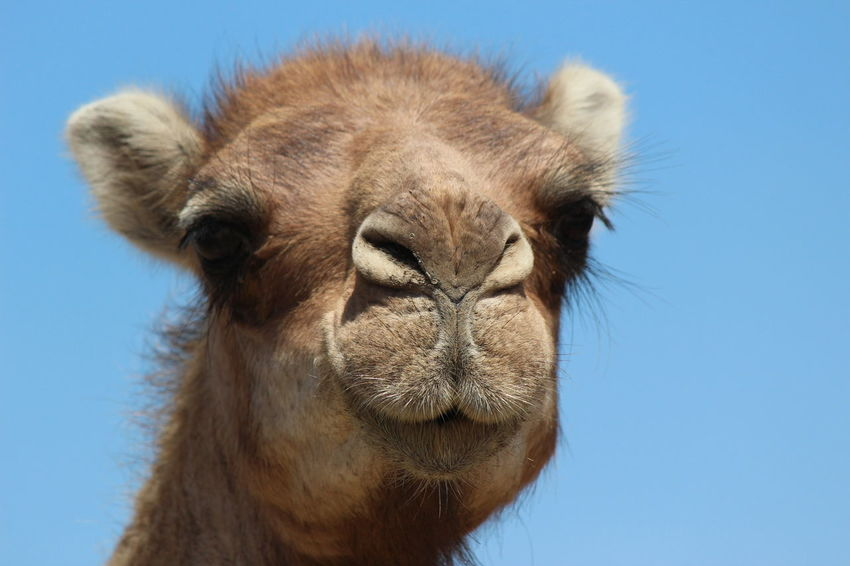 Animal Animal Body Part Animal Hair Animal Head  Animal Nose Animal Themes Animals In The Wild Blue Camel Clear Sky Close-up Dromedary Endangered Species Front View Herbivorous Low Angle View Mammal Morocco One Animal Outdoors Safari Animals Sky Tamraght Wildlife Zoology