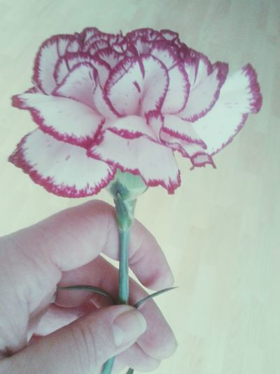 Hand Holding Flower Carnation Blossom Blooming Flower Collection Red And White Flower Flowers Flower Photography Close Up Flowers, Nature And Beauty Carnation Flowers