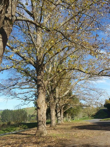 Waikato Day Tree Nature Outdoors Growth Beauty In Nature