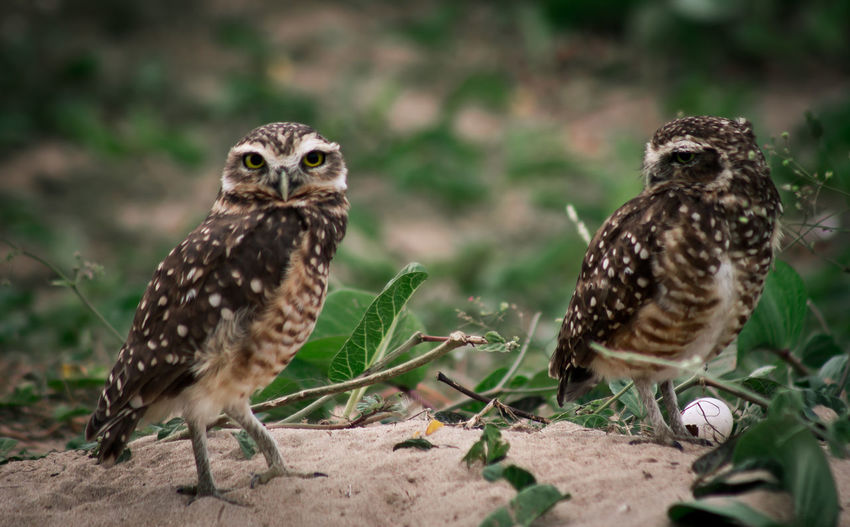 Athene Cunicularia, Coruja Buraqueira, they're on the beach, little smart birds. Alertness Animal Animal Markings Animal Themes Animal Wildlife Athene Cunicularia Beauty In Nature Bird Of Prey Close-up Coruja Coruja Buraqueira Focus On Foreground Nature Outdoors Selective Focus Wildlife The Great Outdoors - 2016 EyeEm Awards Nature's Diversities