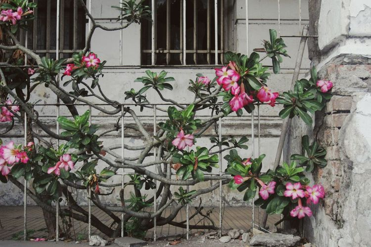 Finding New Frontiers Flower Pink Color Building Exterior Rubble Wall Growth Colonial Style Buildings Colonial Buildings Old Building Charms Architecture Tourist Attraction  Breakthrough Kota Tua Jakartaat Jakarta INDONESIA Adapted To The City