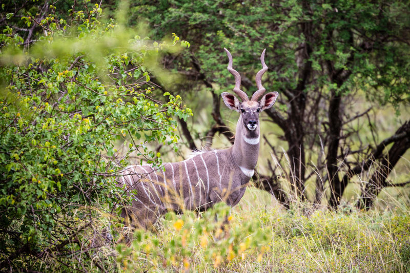Looking At Camera National Park Tsavo West Animal Wildlife Animals In The Wild Day Deer Forest Grass Herbivorous Kudu Kudu Horn Looking At Camera Mammal Nature No People One Animal Outdoors Plant Portrait Selective Focus Side View Standing Tree Vertebrate