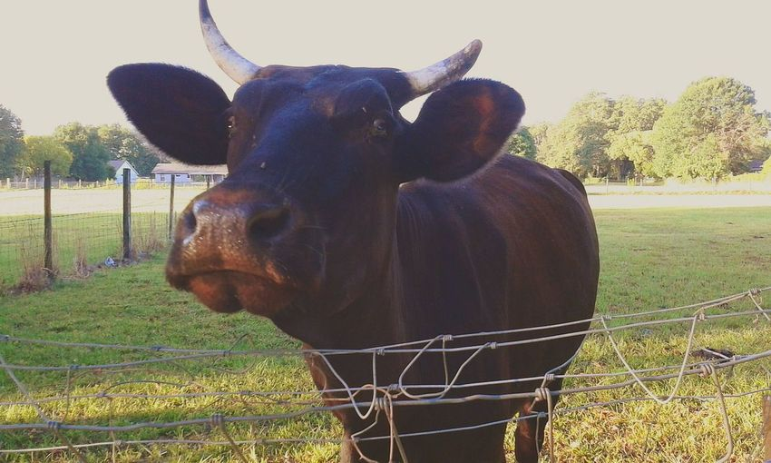 From My Doorstep Check This Out Eyeem The Capture Cheese! This Bull is across the street from my my house