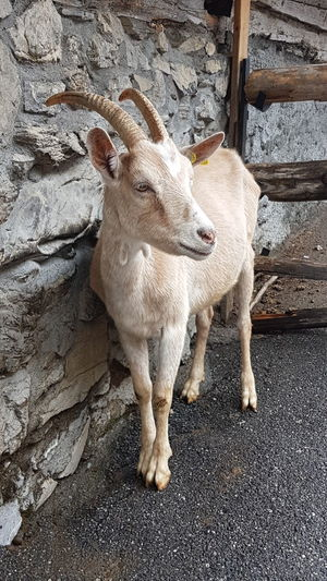 Portrait of a goat standing against wall