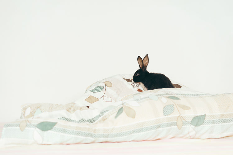 Side View Of Black Rabbit On Blanket Against White Background