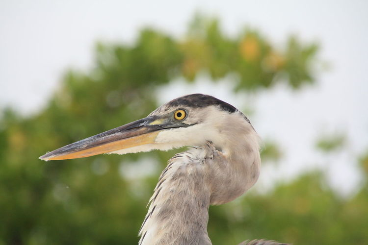 Side View Of Gray Heron Outdoors