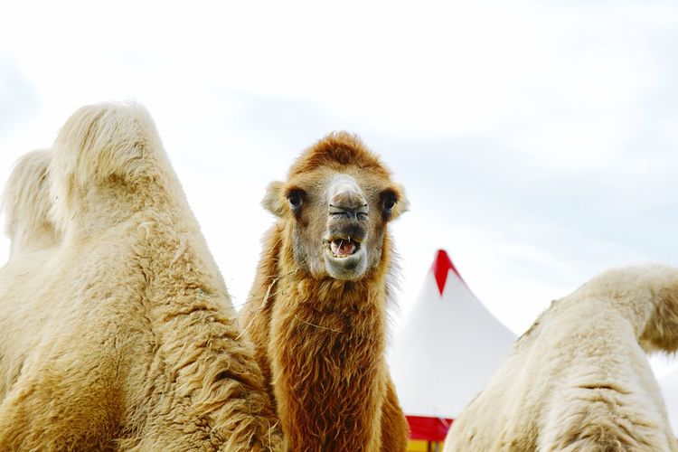 Entertainment Lifestyle Circus Arts Culture And Entertainment Leisure Activity Sky Animal Themes Animal Mammal No People Day Nature Camel Vertebrate Low Angle View Domestic Animals Group Of Animals Pets Representation Close-up Herbivorous Animal Head  Outdoors