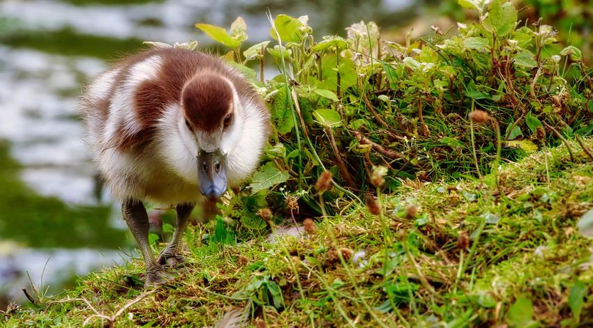 Egyptian Gosling Animal Animal Themes Animal Wildlife Animals In The Wild Bird Close-up Day Domestic Field Gosling Grass Green Color Land Mammal Nature No People One Animal Outdoors Plant Selective Focus Vertebrate
