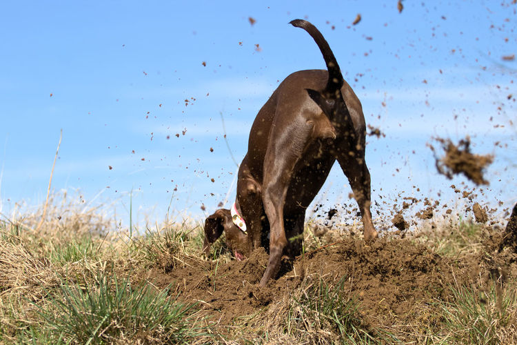 Rear View Of Dog Digging Dirt Against Sky