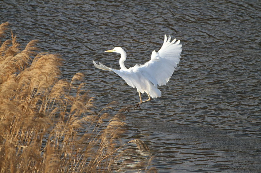 Ardeidae White Color Bird Animals In The Wild Animal Wildlife Spread Wings Lake One Animal Flying Nature No People Day Outdoors Water Animal Themes Great Egret