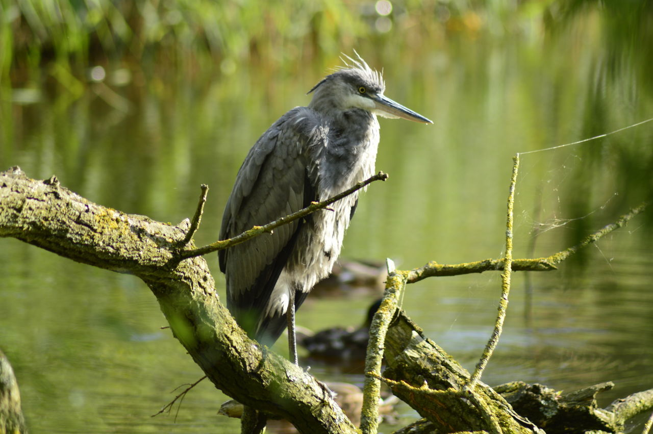 animals in the wild, animal wildlife, animal themes, animal, one animal, vertebrate, plant, bird, perching, tree, branch, focus on foreground, no people, nature, day, heron, beak, outdoors, close-up, beauty in nature