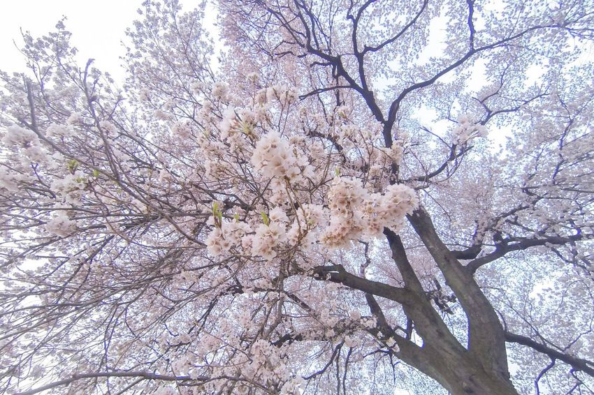 わに塚の桜 EyeEm Best Shots EyeEm Nature Lover EyeEm Flower Tree Plant Low Angle View Growth Beauty In Nature Branch Flower Nature Blossom Springtime