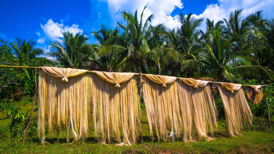 Abaca fiber hanging out in the sun to dry in the jungle - Catanduanes, Philippines Abaca Albay Bicol Catanduanes Catanduanes Island Coconut Trees Cultural Cultural Heritage Drying Handicraft Handicrafts Indigenous  Indigenous People Island Life Island Living It's More Fun In The Philippines Native Product Natural Fibers Natural Material Natural Materials Raw Material Raw Materials Village Life Village Photography