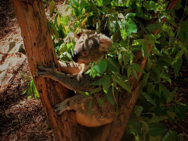 Australia Australia & Travel Australian Wildlife Australia❤️ Australian Animals Western Australia Perth Perth Australia Perth City Koala 🐨 Koala Bear Koala On A Tree