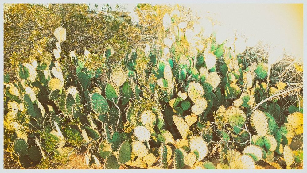 Auto Post Production Filter Beauty In Nature Cactus Close-up Day Field Freshness Green Color Growth High Angle View Land Leaf Nature No People Outdoors Plant Plant Part Succulent Plant Sunlight Transfer Print