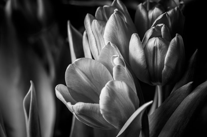 beauty in Nature vintage canon fragility Tulips monochrome monochrome photography EyeEm Selects Beauty In Nature Vintage Canon Fragility Tulips Monochrome Monochromatic Monochrome_life Jacqueline Schreiber Indoors  Indoor Photography Canonphotography Canon600D Canon55-250mmIS II Flower Nature Petal Plant Growth Flower Head Beauty In Nature Outdoors No People Close-up