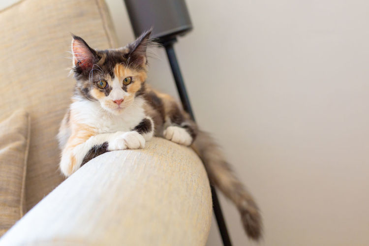 Cat Domestic Domestic Animals Domestic Cat Feline Indoors  Looking Looking At Camera Mainecoon Mammal No People One Animal Pets Portrait Relaxation Sitting Sofa Vertebrate Whisker
