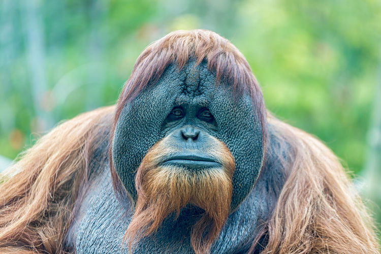 orangutan (ape) face portrait isolated Ape Borneo Endangered  Endangered Species INDONESIA Orang-Utan Pongo Sumatra  Zoo Animal Animal Themes Brown Endangered Animals Expression Hairy  Jungle Mammal Monkey Orange Color Orangutang P. Abelii P. Pygmaeus Portrait Rainforest Wildlife