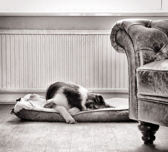 Dog gone tired Pets Animal Dog Border Collie Relaxation Pet Sleeping Chesterfield Flooring Close Up Blackandwhite Black And White Hardwood Floor Selective Focus Focus On Foreground Leather Radiator Bed Afternoon