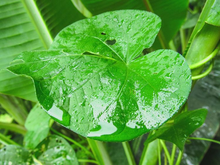 Leaf Green Color Growth Nature Plant Freshness Close-up Beauty In Nature No People Day Outdoors Fragility Water Waterdrops Water On Leaf Heart Shape Shapes In Nature  Plant Lover Macro Rain Rainy Days Raindrops Dripping Water Summer Growth