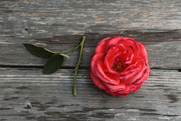 10 Wood Beauty In Nature Directly Above Flower Flower Head Flowering Plant Fragility Freshness Inflorescence Nature Number Petal Plant Red Rosé Rose - Flower Ten Vulnerability  Wodden Material Wood - Material