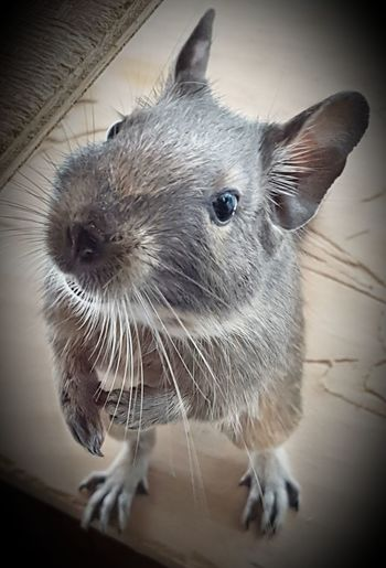 My very curious Degu. Ears And Tail Ears Up Whiskers Of Animal Eyes Wide Open Premium Collection Pets One Animal Domestic Animals Indoors  Animal Themes Close-up No People Day Octodon Octodondegu Furry Friends Fur Coat Natural Pattern Posing Curiosity Neutral Colors Small Animal Wiskers Bright Eyes Indoors  Whisker Indoors  Mammal Home Interior