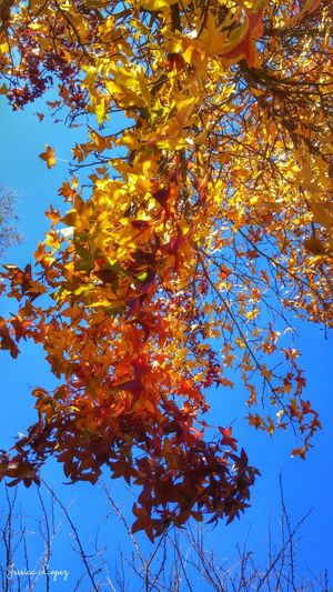 Tree Autumn Beauty In Nature Sky Orange Color Low Angle View Nature Branch Change Blue Growth Tranquility Leaf Clear Sky Day No People Outdoors Scenics Maple Leaf Close-up