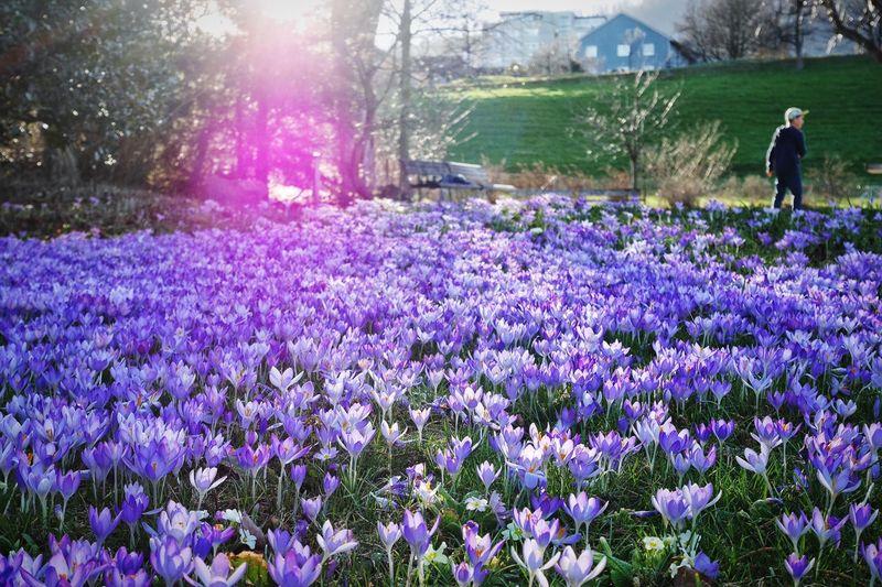 Purple crocus flowers blooming on field