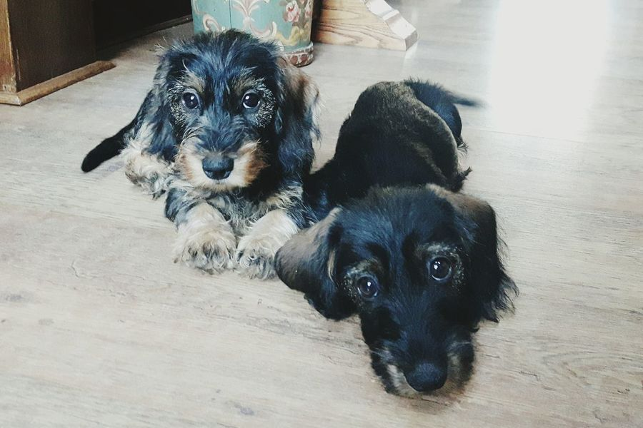 Millie&Filippo Dachshunds Puppies