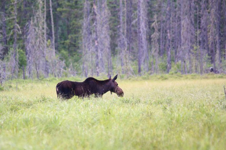 Minnesota Moose Wildlife Swamp Protecting Where We Play