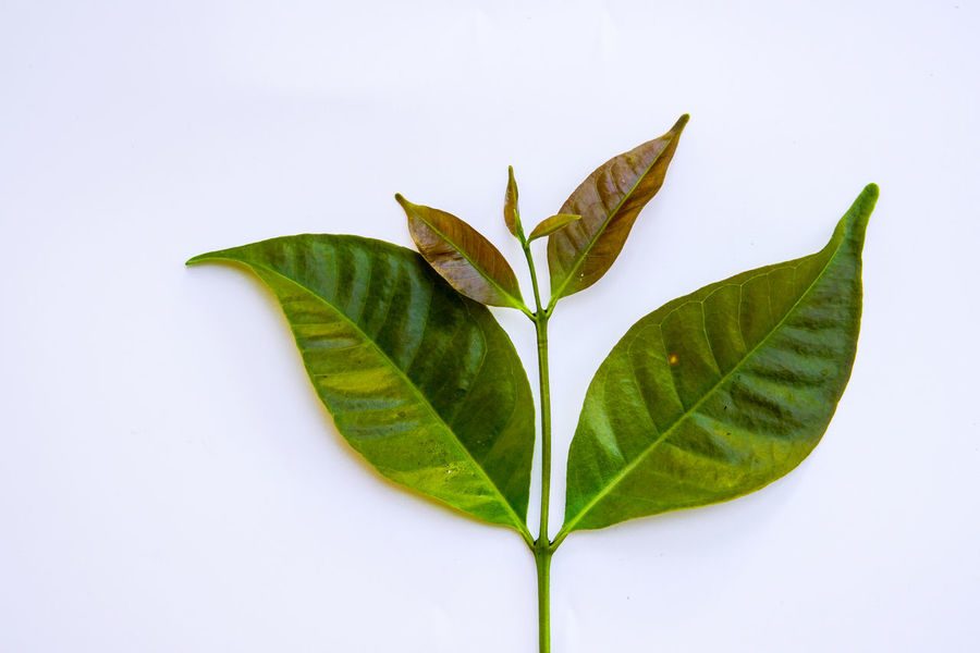 Close-up Day Fragility Freshness Green Color Growth Leaf Nature No People Outdoors Plant Studio Shot White Background