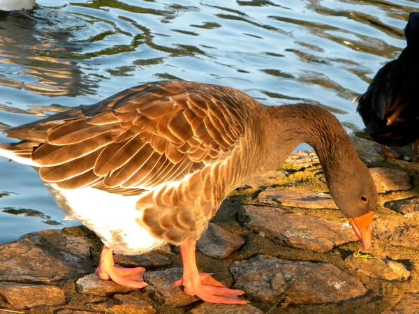 Duck Animal Animal Photography Animal Themes Animals Animals In The Wild Beautiful Bird Day Duck Ducks At The Lake Lake Nature No People One Animal Outdoors Pato