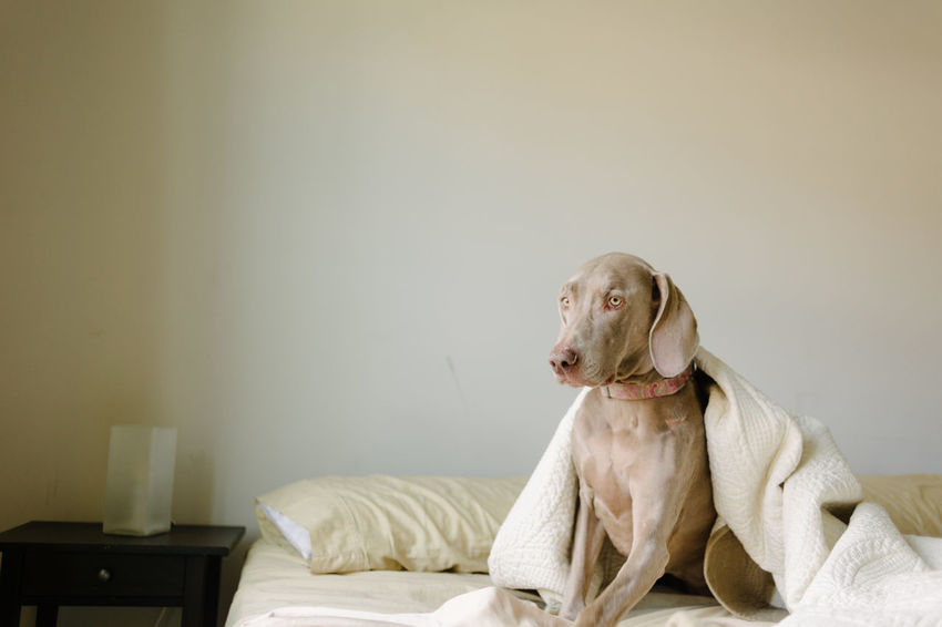 Lazy Sunday in bed for domestic dog. Bed Home Animal Animal Themes Bedroom Blankets Bored Dog Domestic Animals Home Interior Laziness Lazy Lazy Day Lazy Sunday Pet Sheets Tired Weimaraner