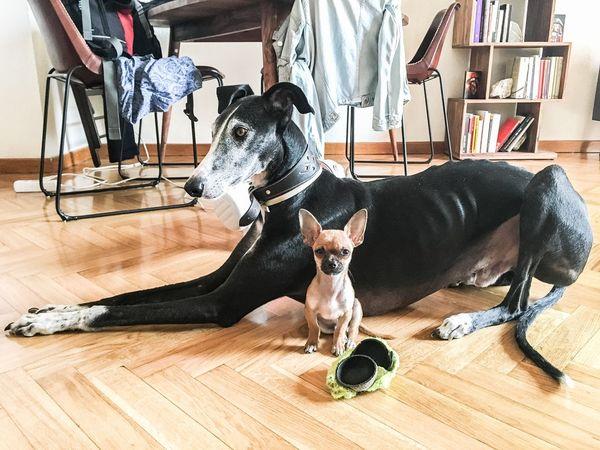 The Week On EyeEm Pets Dog Domestic Animals Indoors  Home Interior Chiuahua Galgo Sitting Portrait No People