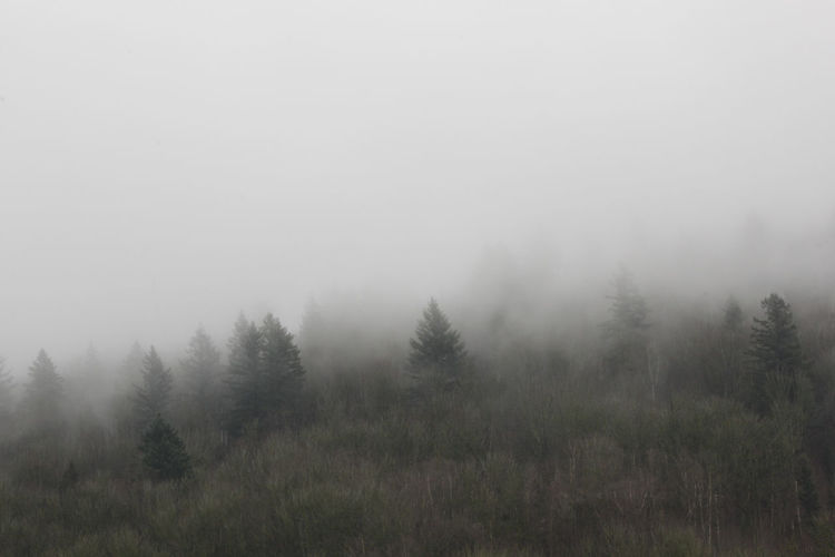 Beauty In Nature Day Fog Forest Landscape No People Non-urban Scene Outdoors Pine Tree Plant Scenics - Nature Tranquil Scene Tranquility Tree