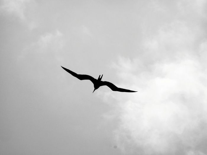 Silhouette IWA Sillouette Great Frigate Bird Black And White Black And White Photography Bird Spread Wings Bird Of Prey Flying Full Length Mid-air Silhouette Sky Animal Wing