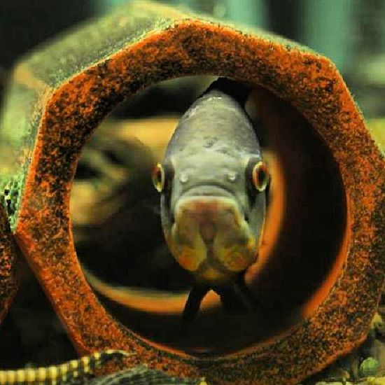 A fish called Plupp Astronotusocellatus Fish  cichlid Instafish instacichlid cichlid fishtank freshwater instag_app Instagood Photooftheday Beautiful Picoftheday Instadaily Bestoftheday All_shots Instacool Nature Awesome Picstitch Igdaily Instapic Instaphoto