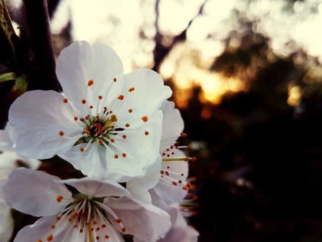 Tree Spring Sunlight Colorful Colors Sunset White White Flower Flower Head Flower Springtime Blossom Stamen Petal Close-up Sky In Bloom Blooming Plant Life Pollen Botany Wildflower Pistil EyeEmNewHere