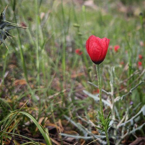 در گشودند , به باغ گل سرخ و من دل شده را به سرا پرده رنگین تماشا بردند... Iran Isfahan Flowers Nature Red