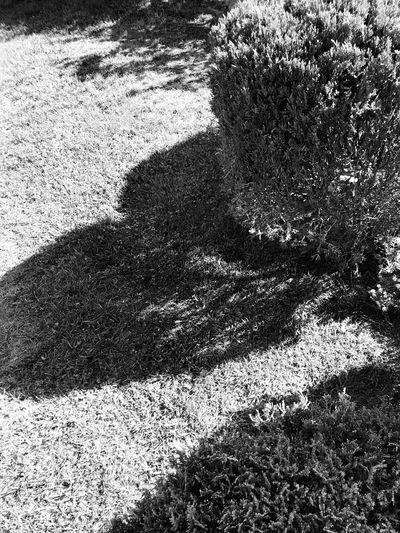 Shrub Shadows