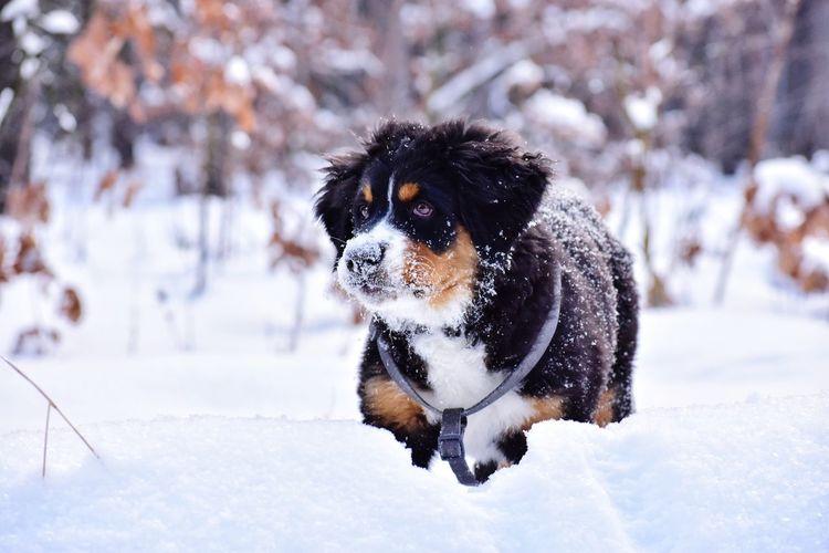 Bernese mountain dog in snowy forest in ukraine