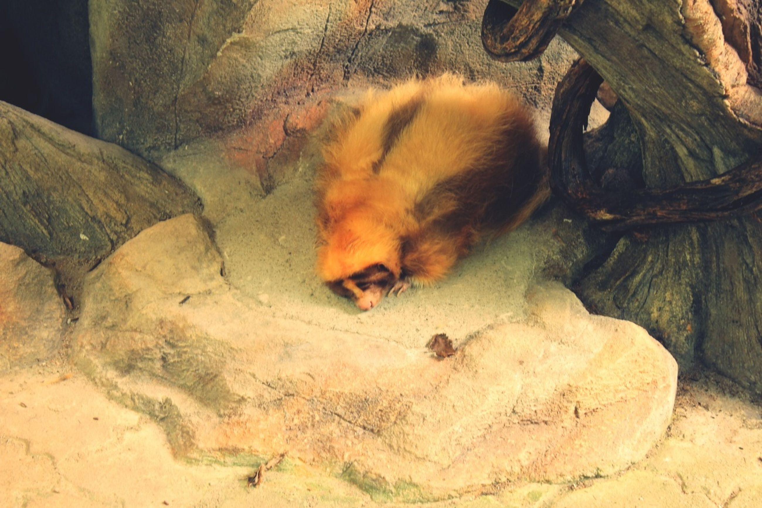animal themes, mammal, one animal, animals in the wild, wildlife, sleeping, high angle view, domestic animals, relaxation, zoo, rock - object, resting, nature, sand, zoology, animals in captivity, no people, day, two animals, lying down