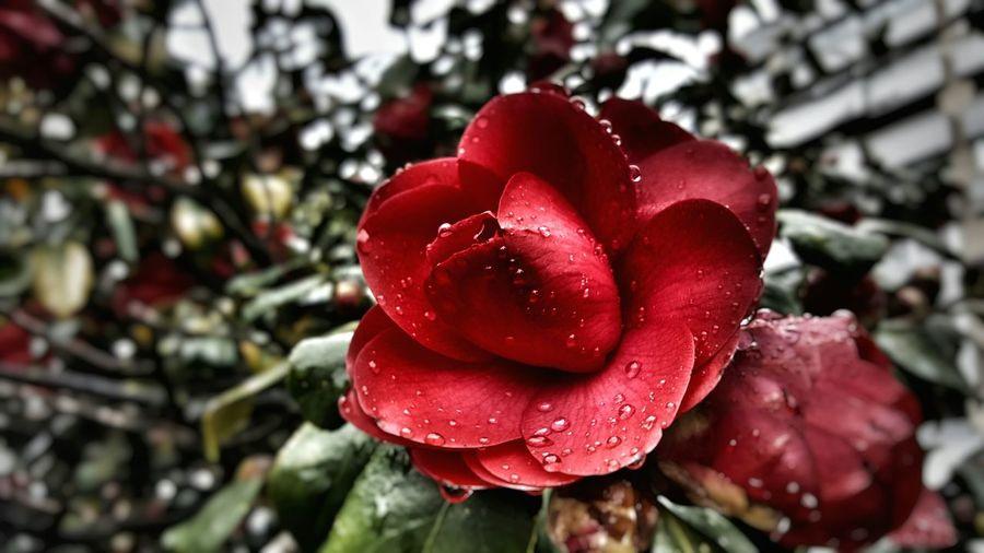 Red camellia 🌺
